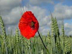 Le blé et le coquelicot. (daviddelattre) Tags: coquelicot fleur blé nuage ciel nature photo rouge