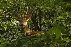 urban wildlife (Blende1.8) Tags: deer reh wild nrw natur nature animal animals heimischeswild gehörn anters horns view eye eyes tieraugen animalseyes germany europe outdoor urbanwildlife wildlife tier tiere tierfotografie sony a6400 ilce6400 sel18135