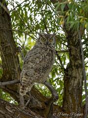 great horned owl (Pattys-photos) Tags: great horned owl camasnationalwildliferefuge idaho pattypickett4748gmailcom pattypickett