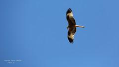 Milan royal... (fabrice.jandin) Tags: oiseaux printemps plume