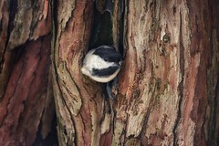 Chickadee (Ken Mattison) Tags: birds chickadee nature spring closeup outdoor composition color colours panasoniclumix fz1000 parks gardens whitnallpark boernerbotanicalgardens trees
