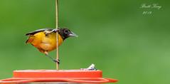 Oriole- (dbking2162) Tags: birds bird beautiful beauty nature nationalgeographic wildlife outside oriole orange explore eyes indiana migration