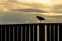 Willet on the Fence (Bud in Wells, Maine) Tags: morning sky silhouette fence spring dof maine wells vacationland willet drakesisland