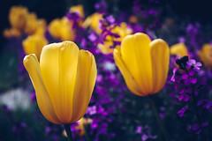 Flowers at Regent's Park (FButzi) Tags: london uk flowers yellow violet regent park colors blossom bloom bokeh