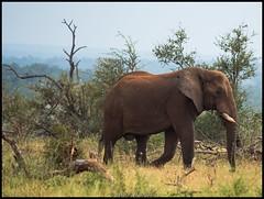 African bush elephant (Loxodonta africana) (Venkat Mangudi) Tags: africanbushelephantloxodontaafricana kruger krugernationalpark elephant