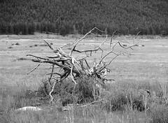 Presumed Dead (LarsHolte) Tags: pentax 645 pentax645 645n 6x45 smcpentaxfa 200mm f40 120 film 120film analog analogue rollei retro 80s 80iso mediumformat blackandwhite classicblackwhite bw monochrome filmforever filmphotography d76 ishootfilm larsholte homeprocessing usa rockymountain nationalpark morainepark