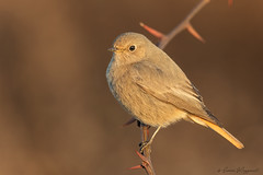 L'alba del codirosso (Simone Mazzoccoli) Tags: sunrise wild wildlife winter cold redstart background light nature natural birds birdwatching ornithology animals
