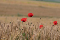 Hello Summer, my old friend  :))) (Irina1010) Tags: summer field wheat crop poppies red contrast beautiful bokeh coth coth5 ngc npc
