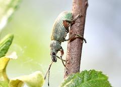 Lövvivel / SilverGreen Leaf Weevil (Phyllobius argentatus) (Martin1446) Tags: nature skalbagge nikon d500 macro makro beetle lövvivel silvergreen leaf weevil phyllobius argentatus