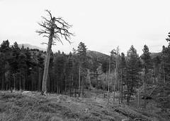 Stricken (LarsHolte) Tags: pentax 645 pentax645 645n 6x45 smcpentaxa 35mm f35 120 film 120film analog analogue rollei retro 80s 80iso mediumformat blackandwhite classicblackwhite bw monochrome filmforever filmphotography d76 ishootfilm larsholte homeprocessing usa rockymountain nationalpark