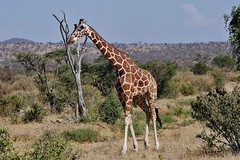 World Giraffe Day (Susan Roehl) Tags: kenya2015 lewawildlifeconservancy kenya worldgiraffeday reticulatedgiraffe giraffacamelopardalisreticulata giraffeconservationfoundation june21ofeachyear somaligiraffe ninesubspecies caninterbreedwithothersubspecies somalia southernethiopia northernkenya savannas woodlands seasonalfloodplains rainforests severalconservationorganizations sueroehl photographictour naturalexposures lumixdmcgh4 100400mmlens handheld coth5 ngc npc