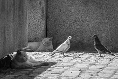 Peace and Love (VladimirTro) Tags: россия санктпетербург кошка голубь монохром russia russian monochrome cat bird bw street pigeon canonm50 efm18150mm