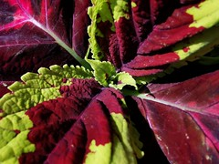 Kong Rose Coleus, such a stunning vibrant plant (janettehall532) Tags: kongrosecoleus rosecoleus vibrantcolours vibrant colour naturephotography nature beautiful beauty beautyinnature summer summerplant plants gardenflowers flowerphotography flowersandcolours macrophotography macro macroflowers bloom closeupshot closeupphotography photography photographylovers photo huaweip30pro huawei flickr flickrcentral pic