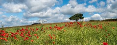 HARDWICK DERBYSHIRE-6210002-Pano (stevef16G) Tags: derbyshire olympus outdoor outdoorphotography hardwick peakdistrict panoramic 1240mm em1mk2 poppys red farming farm fields view vista bluesky