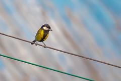 Green-backed Tit (wn_j) Tags: birds birding wildlife wildanimals wildlifephotography nature naturephotography songbirds tit greenbackedtit canon canon5d4 canon100400 china zhangjiajie