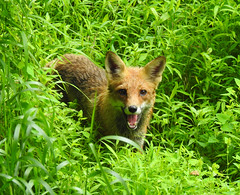 Red Fox Panting (annette.allor) Tags: red fox nature wildlife grass mr tod male woods vulpesvulpes