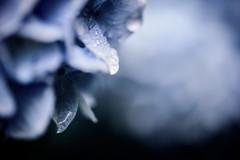 紫陽花 2019 #2ーHydrangea 2019 #2 (kurumaebi) Tags: yamaguchi 秋穂 山口市 nikon d750 nature 花 アジサイ macro hydrangea