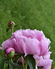 """Peony Love (Robin Penrose) Tags: """"project365"""" 365the2019edition 3652019 day171365 20jun19 pink peonies peony flower blooms rain raindrops"""