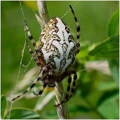 Eichblatt-Radspinne (robert.pechmann) Tags: eichblattradspinne araneusceropegius spinne insekt macro robert pechmann spider