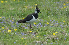 Beautiful Lapwing (Ian Robin Jackson) Tags: beautiful lapwing bird birds nature wildlife scotland dinnet naturereserve 2019