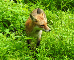Sound the Alarm - The Vixen has Arrived (annette.allor) Tags: red fox animal wildlife woods nature vixen female vulpesvulpes grass