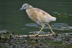 crabier chevelu 19D_3135 (Bernard Fabbro) Tags: crabier chevelu squacco heron oiseau bird