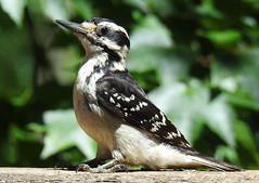 I'm a Big Kid Now - Young Hairy Woodpecker (annette.allor) Tags: bird baby fledgling wildlife nature hairy woodpecker leuconotopicusvillosus