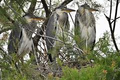 héron cendré 19D_4602 (Bernard Fabbro) Tags: héron cendré grey heron nid nest oiseau bird
