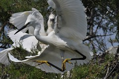 aigrette garzette 19D_1723 (Bernard Fabbro) Tags: aigrette garzette little egret
