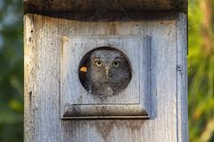 Eastern Screech Owl (DFChurch) Tags: sixmilecypressslough fortmyers florida nature animal bird screech owl baby immature juvenile eastern megascopsasio
