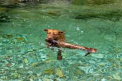 Milly 06-2019 (8) (Armin Rodler) Tags: animal animaisch hund dog pinscher labradorf baden leitha österreich austria pet buddy milly 2019 june juni armin rodler panasonic lumix lx15