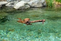 Milly 06-2019 (7) (Armin Rodler) Tags: animal animaisch hund dog pinscher labradorf baden leitha österreich austria pet buddy milly 2019 june juni armin rodler panasonic lumix lx15