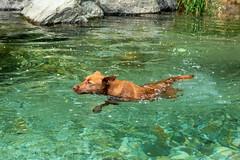 Milly 06-2019 (6) (Armin Rodler) Tags: animal animaisch hund dog pinscher labradorf baden leitha österreich austria pet buddy milly 2019 june juni armin rodler panasonic lumix lx15