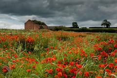 Old Barn (travelingjournalist) Tags: bloom dilapidatedbar meadowflowers northamptonshire papaver poppies poppyfields poppyphotograpy weedonbec
