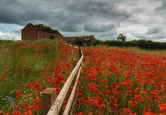 The old barn (travelingjournalist) Tags: bloom dilapidatedbar meadowflowers northamptonshire papaver poppies poppyfields poppyphotograpy weedonbec