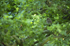 Little Owl (Benjamin Joseph Andrew) Tags: one lone single individual bird raptor birdofprey summer perching woodland forest green morning