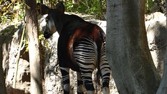 San Diego Zoo Feb 2019 (MisterQque) Tags: zoo sandiegozoo california sandiego okapi