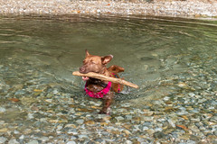 Milly 06-2019 (4) (Armin Rodler) Tags: animal animaisch hund dog pinscher labradorf baden leitha österreich austria pet buddy milly 2019 june juni armin rodler panasonic lumix lx15