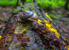 Forest Snail (John Kocijanski) Tags: snail animal forest woods fungus macro bokeh nature canong15