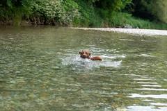 Milly 06-2019 (9) (Armin Rodler) Tags: animal animaisch hund dog pinscher labradorf baden leitha österreich austria pet buddy milly 2019 june juni armin rodler panasonic lumix lx15