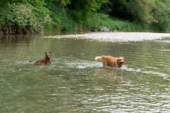 Buddy und Milly 06-2019 (4) (Armin Rodler) Tags: animal animaisch hund dog pinscher labradorf baden leitha österreich austria pet buddy milly 2019 june juni armin rodler panasonic lumix lx15