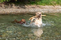 Milly 06-2019 (Armin Rodler) Tags: animal animaisch hund dog pinscher labradorf baden leitha österreich austria pet buddy milly 2019 june juni armin rodler panasonic lumix lx15
