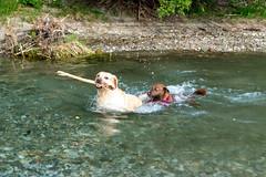 Milly 06-2019 (5) (Armin Rodler) Tags: animal animaisch hund dog pinscher labradorf baden leitha österreich austria pet buddy milly 2019 june juni armin rodler panasonic lumix lx15
