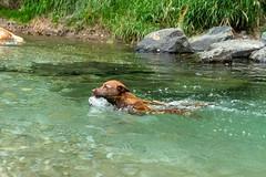 Milly 06-2019 (12) (Armin Rodler) Tags: animal animaisch hund dog pinscher labradorf baden leitha österreich austria pet buddy milly 2019 june juni armin rodler panasonic lumix lx15