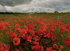 Poppy field (travelingjournalist) Tags: bloom meadowflowers northamptonshire papaver poppies poppyfields poppyphotograpy weedonbec