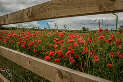 More than just a splash of Poppies (travelingjournalist) Tags: bloom meadowflowers northamptonshire papaver poppies poppyfields poppyphotograpy weedonbec