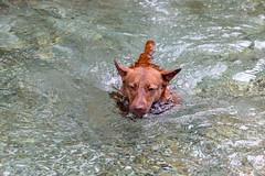 Milly 06-2019 (11) (Armin Rodler) Tags: animal animaisch hund dog pinscher labradorf baden leitha österreich austria pet buddy milly 2019 june juni armin rodler panasonic lumix lx15