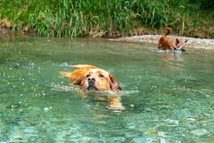 Buddy und Milly 06-2019 (1) (Armin Rodler) Tags: animal animaisch hund dog pinscher labradorf baden leitha österreich austria pet buddy milly 2019 june juni armin rodler panasonic lumix lx15