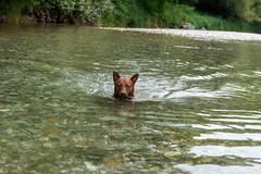 Milly 06-2019 (10) (Armin Rodler) Tags: animal animaisch hund dog pinscher labradorf baden leitha österreich austria pet buddy milly 2019 june juni armin rodler panasonic lumix lx15