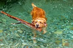 Buddy 06-2019 (21) (Armin Rodler) Tags: animal animaisch hund dog pinscher labradorf baden leitha österreich austria pet buddy milly 2019 june juni armin rodler panasonic lumix lx15